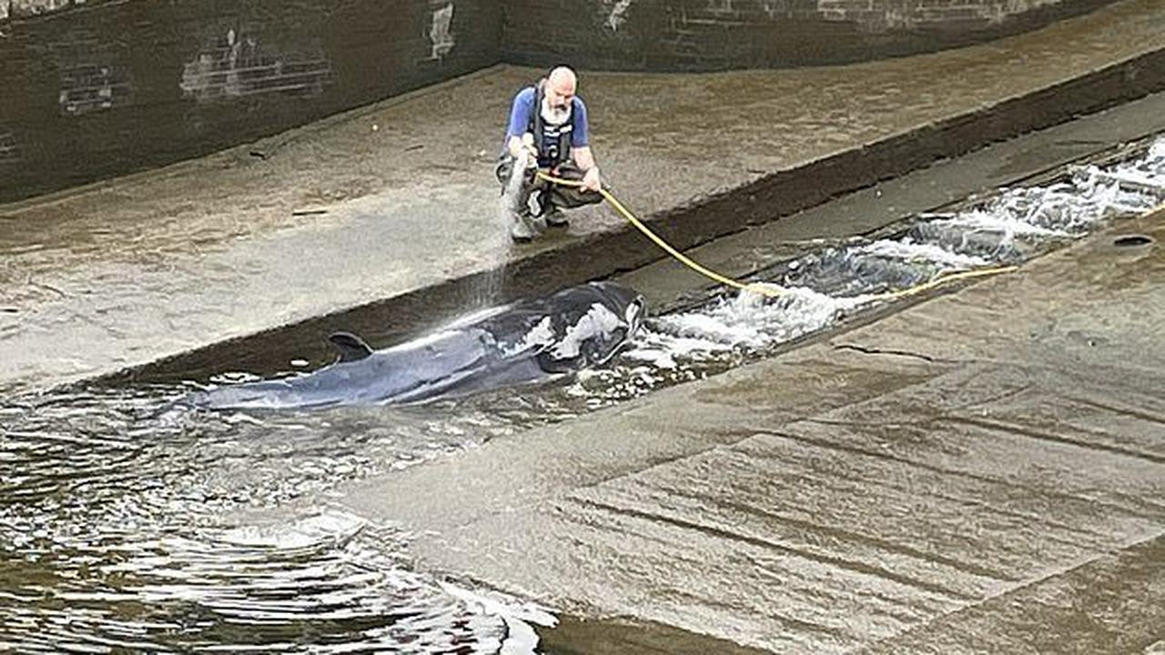 Baby whale is found stranded in the Thames: Crowds flock to see 'very lost' animal as experts try to save it after it became beached at Richmond lock