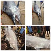 Pictures Of The Giant Swordfish Caught By A Fisherman In Rivers State On Friday