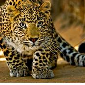 Intriguing facts about leopards