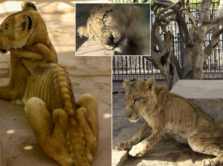 Check out photos of the lion that died 2 weeks after going viral for being starved in a Nigerian zoo