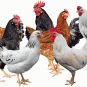 Starting improved local chicken hatchery can make you a millionaire in just 1 year.