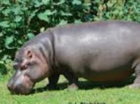 HIPPO GRAZING THE JOBURG LAWNS AWAY: Wildlife in the city(Opinion)