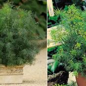 The Right Way To Grow Dill Plant In Pots From Its Seed Level