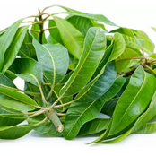 Please Your Woman In Bed With The Help Of Mango Leaves.