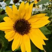 عباد الشمس من أهم محاصيل إنتاج الزيت
