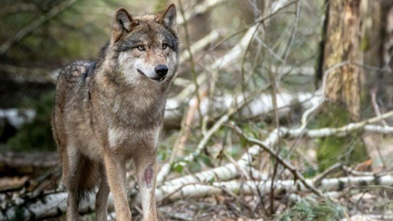 """St. Veiter """"Wolfsvideo"""" geht auf Facebook viral"""