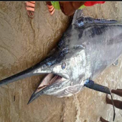Checkout the giant swordfish a fisherman recently caught in Rivers State (Photos)
