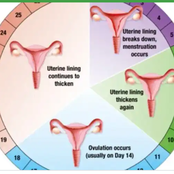 How to calculate your menstrual period and ovulation.