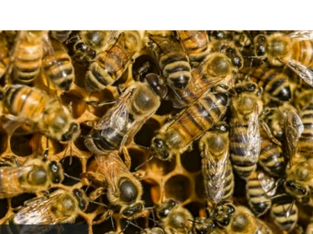 Awesome research: Honeybees Venom can kill breast cancer cells