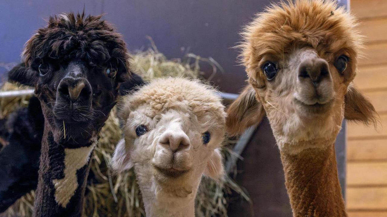 Nanobodies stoppen Sars-CoV-2: Helfen diese drei Alpakas uns im Kampf gegen das Coronavirus?
