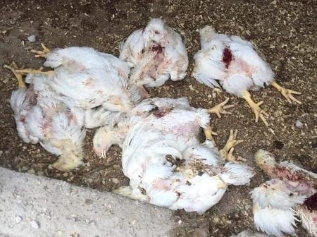 Did the dogs eat the chickens or somebody is trying to sabotage her business?