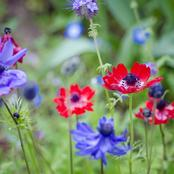 Garden Tips To Plant Anemone Flowers