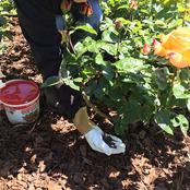 Pro Tips Every Farmer Should Consider When Growing Roses At Home