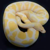 The most unusual ball python