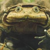 Titicaca water frog that has an excessive skin
