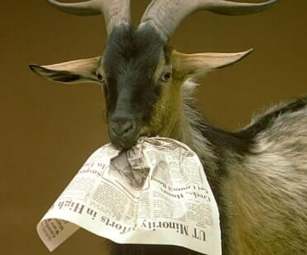 4b148a366dc98a68ebb6b4d80c6a1ea7?quality=uhq&resize=720 - Do Goats feed on papers? - More Photos of Goats chewing Politicians Posters surfaces online
