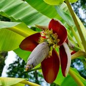 Have you tried banana flowers? See the traditional uses and benefits of banana flower