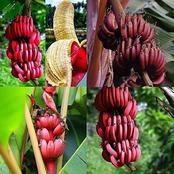 Jus de banane rouge : un aphrodisiaque, un anti crampes et un délice particulier