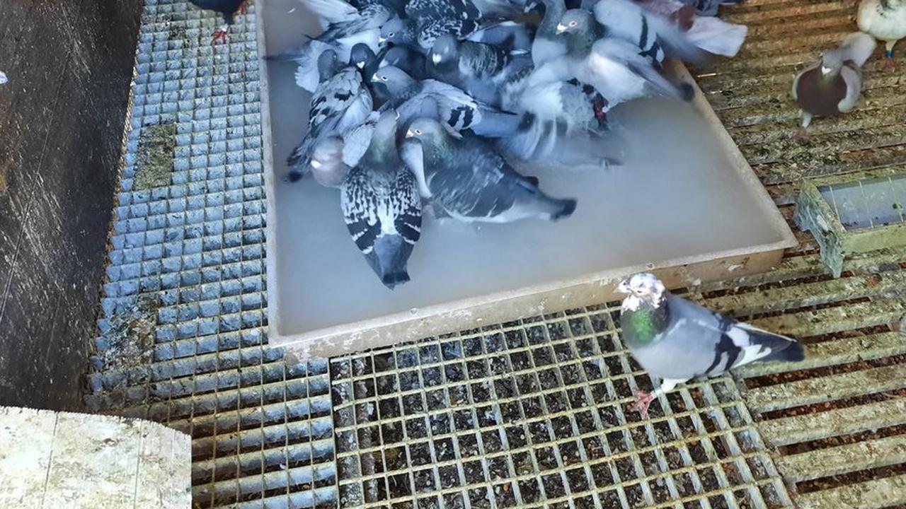 Un pigeon voyageur vendu 1,6 million d'euros, nouveau record