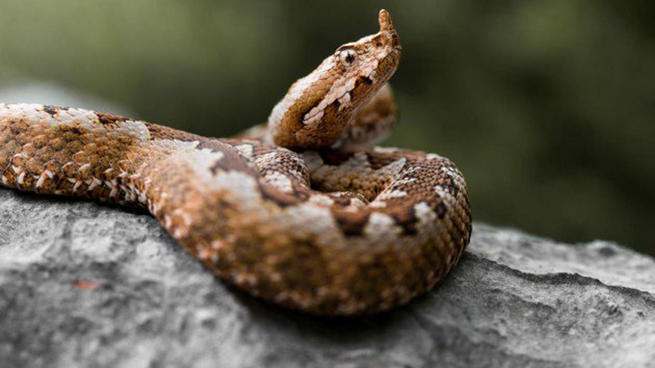 Schlangenbesitzer (24) von Viper gebissen - tot!