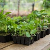 Transplanting versus Direct Seeding: Advantages and Appropriateness of Each Technique