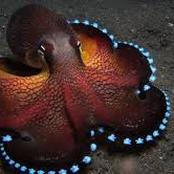 See the only animal on Earth, that has three Hearts, Nine brains and Blue Blood. (See pictures).