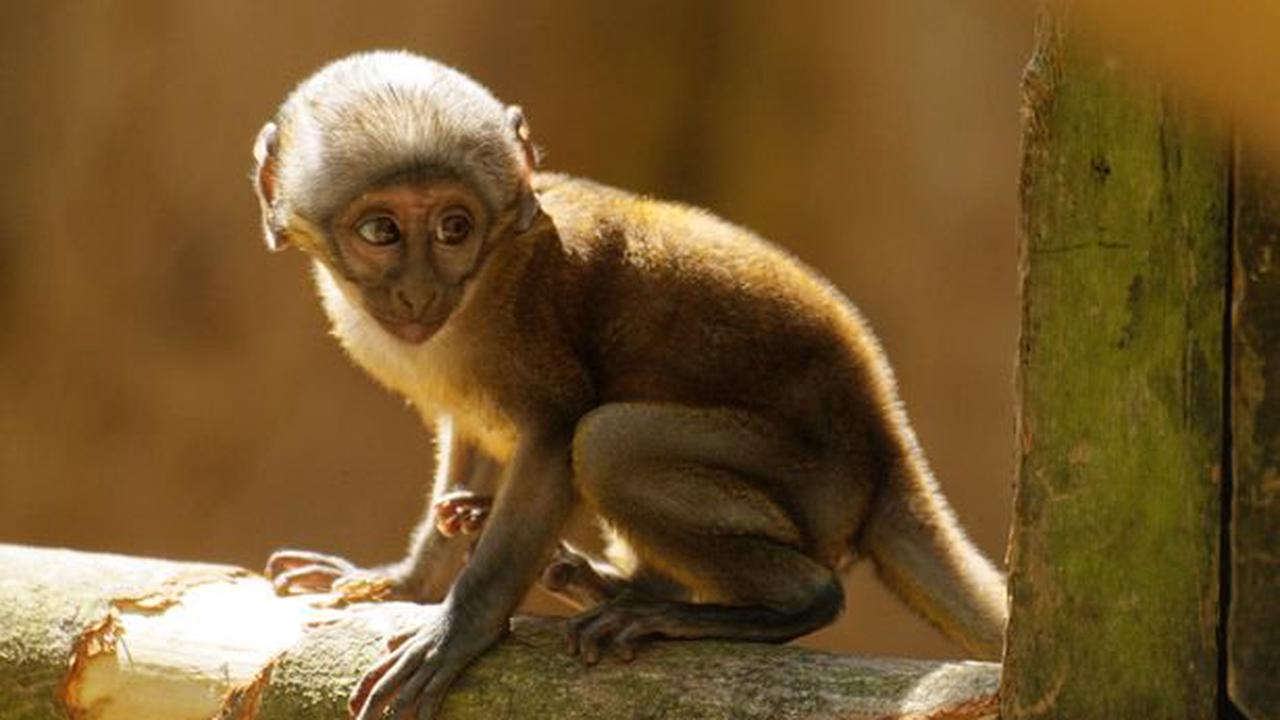 Twycross Zoo names new baby monkey 'Southgate'