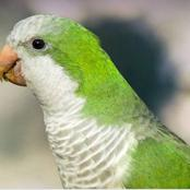 Engrossing facts about quacker parrots