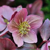 Garden Tips To Plant Hellebore Flowers
