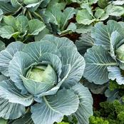 What Will Happen To Your Body If You Eat a Lot of Cabbages