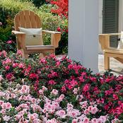 How to Fertilize Encore Azaleas In Your Home Garden