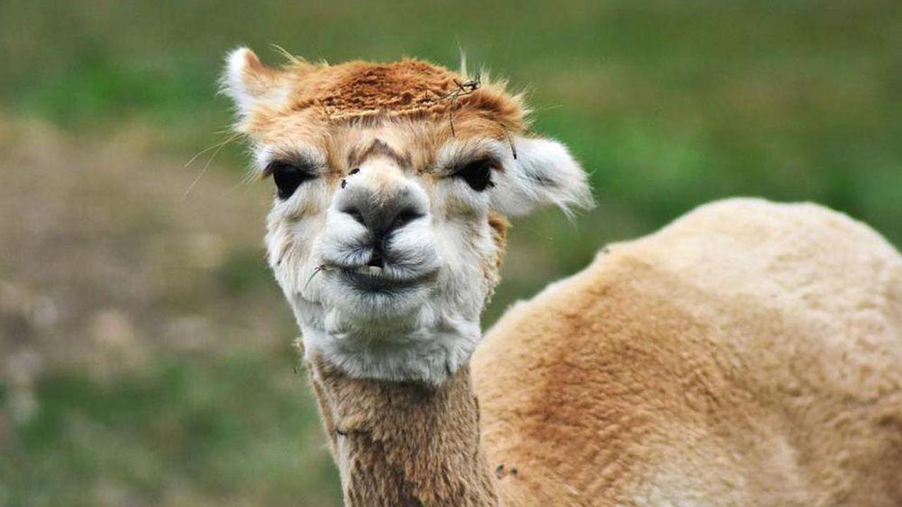 Promising mini antibodies against COVID-19 found in llama