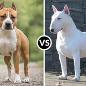 Bull terriers and staffies like you have never seen before