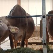 ماذا ترى الأبقار الروسية فى نظارات الواقع الافتراضي لزيادة انتاج الألبان؟