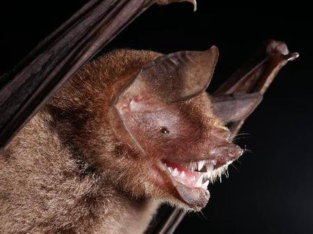 Some facts about the ghost faced bat