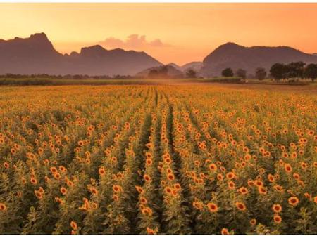 How to Collect More Power Using Artificial Sunflowers