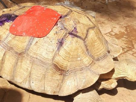 Photos of 80-Years-Old Turtle Saved By Nigerian Doctors After a Road Accident