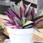 All You Need To Know About Growing Oyster Plant Effectively In Your Home