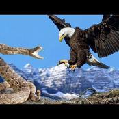 An eagle is Never afraid of snakes. This is how they easily kill snakes for food