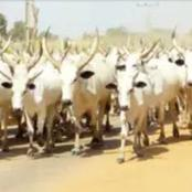 Four Herders Shot Dead, Hundreds Of Cows Missing In Fresh Anambra Attack