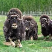 Animal Farming 101: Are musk ox dangerous?