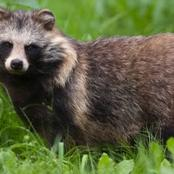 Engrossing facts about raccoon dogs