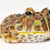 Animal Farming 101: Are Pacman Frogs good pets?