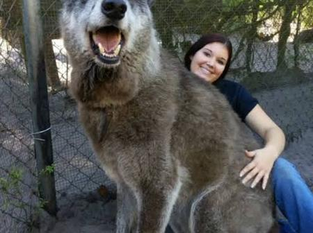 Reasons why you shouldn't get Wolfdogs as pets