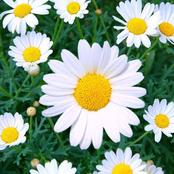 Every Gardener Ought To Know These Little Tricks When Growing Daisies
