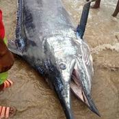 Check Out The Colossus Swordfish Caught By Some Fishermen In Rivers State.