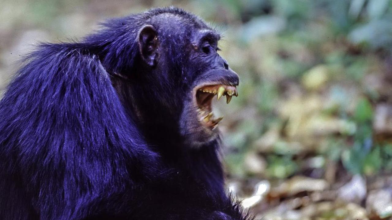 Überraschende Attacke. Schimpansen greifen Gorillas an und töten sie