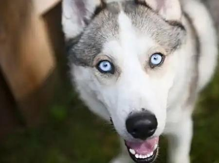 Checkout The most beautiful dog breeds in the world and their prices in Nigeria