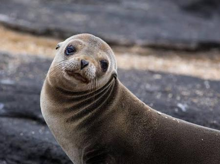 Here are some facts about galapagos fur seal