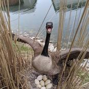 Never Do These 2 Things Incase You Are Around Geese, Otherwise You Will Regret